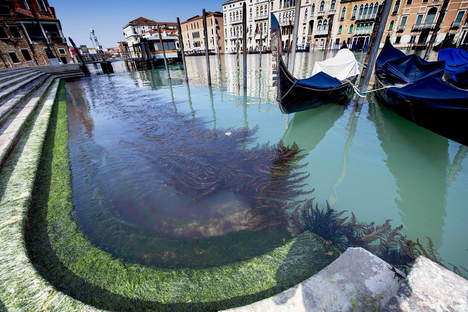 La vegetació creix als canals deserts de Venècia aquest mes de maig. Fotografia de Mbtarget. IPA. ZumaPress.